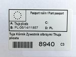 Tuja Kórnik Thuja plicata w sklepie internetowym SklepJana.pl