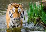 Fototapeta tygrys 483 w sklepie internetowym Deco-Wall.pl