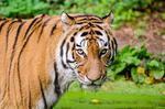 Fototapeta tygrys 484 w sklepie internetowym Deco-Wall.pl