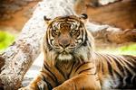 Fototapeta tygrys 487 w sklepie internetowym Deco-Wall.pl