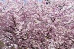 Fototapeta drzewo wiśnia 744 w sklepie internetowym Deco-Wall.pl