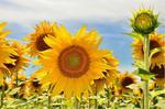 Fototapeta słoneczniki 84 w sklepie internetowym Deco-Wall.pl