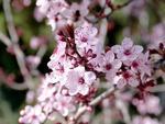 Fototapeta kwiat, wiśnia 283 w sklepie internetowym Deco-Wall.pl
