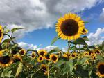 Fototapeta kwiat, słoneczniki 285 w sklepie internetowym Deco-Wall.pl