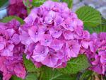 Fototapeta kwiat, hortensje 287 w sklepie internetowym Deco-Wall.pl