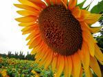 Fototapeta kwiat, słonecznik 290 w sklepie internetowym Deco-Wall.pl