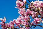 Fototapeta kwiat, kwiat wiśni 337 w sklepie internetowym Deco-Wall.pl