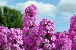 Fototapeta kwiat, hortensje 360 w sklepie internetowym Deco-Wall.pl