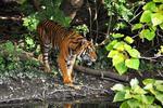 Fototapeta tygrys 417 w sklepie internetowym Deco-Wall.pl