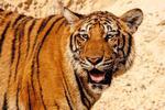 Fototapeta tygrys 432 w sklepie internetowym Deco-Wall.pl