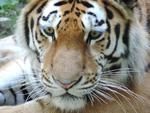 Fototapeta tygrys 445 w sklepie internetowym Deco-Wall.pl