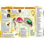 """Tablica informacyjna mała """"anatomia pszczoły miodnej"""" w sklepie internetowym Pszczelnictwo.com.pl"""