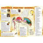 """Tablica informacyjna duża """"anatomia pszczoły miodnej"""". w sklepie internetowym Pszczelnictwo.com.pl"""