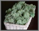 MECH Chrobotek Reniferowy Mint Green 50 g mech na ścianę, mech norweski, miętowy, zielony w sklepie internetowym MyFlowers.pl