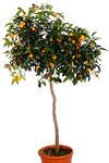 Kumkwat Margarita drzewo w sklepie internetowym Włoskie Rośliny