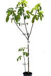 Figa pospolita duże drzewo w sklepie internetowym Włoskie Rośliny
