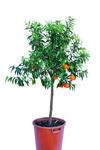 Mandarynka Deliciosa duże drzewo w sklepie internetowym Włoskie Rośliny