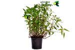 Kolendra wietnamska duża sadzonka w sklepie internetowym Włoskie Rośliny