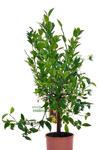 Mandarynka Satsuma duże drzewko w sklepie internetowym Włoskie Rośliny