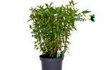 Kolendra wietnamska krzew w sklepie internetowym Włoskie Rośliny